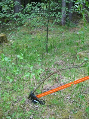 The Extractigator works great with removing Japanese Barberry